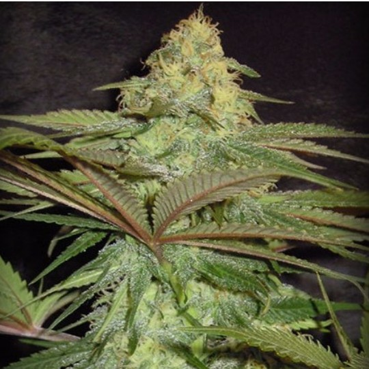 the tree of life feminized seeds