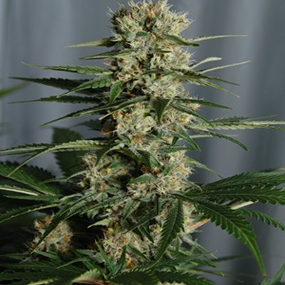 White Rhino #1 Feminised