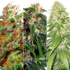 SATIVA FEMINIZED COMBO PACK
